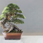 松の盆栽に松茸が生えた