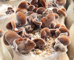 きくらげ 菌床 生産量 作り方